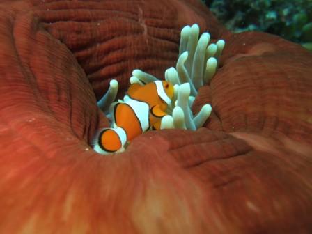 Autralia Grande Barriera corallina Antemone e Pagliaccio
