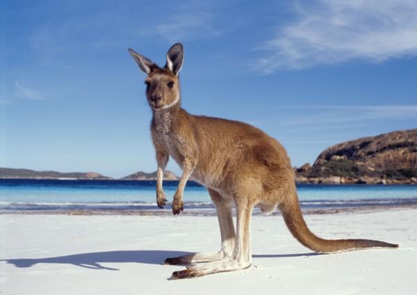 Australia - Canguro