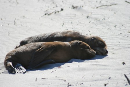 australia kangaroo - leoni marini cuccioli