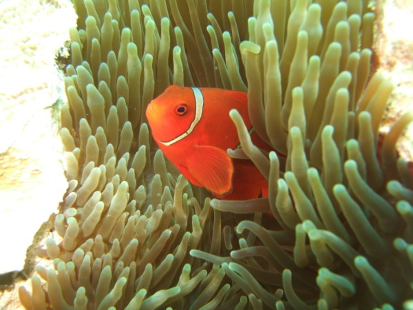 Australia great barrier reev anemone e pagliaccio