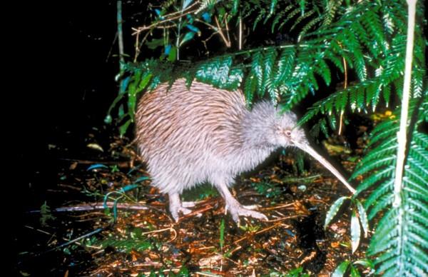 NZ_Kiwi.jpg