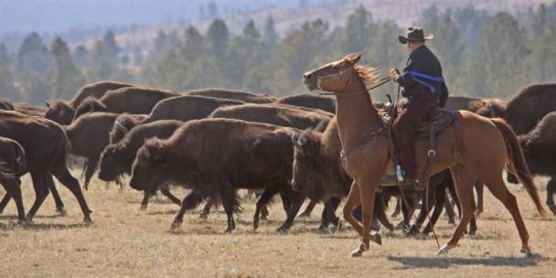 BuffaloRoundup South Dakota